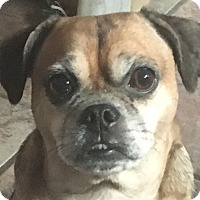 Adopt A Pet :: PUGGLES FRED - Massillon, OH