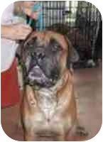 Bullmastiff Dog for adoption in Oviedo, Florida - Boomer