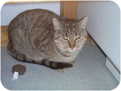 Domestic Shorthair Cat for adoption in Hamburg, New York - Momma Rose