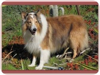 Collie Dog for adoption in Trabuco Canyon, California - Diego
