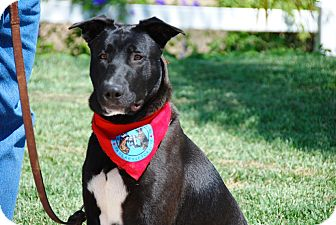 Great Dane/German Shepherd Dog Mix Dog for adoption in El Cajon, California - Casper