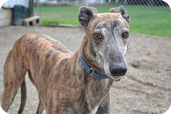 Greyhound Dog for adoption in Chagrin Falls, Ohio - Rankin (Flying Rankin)