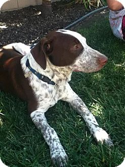 Pointer/Labrador Retriever Mix Puppy for adoption in Torrance, California - Freckles