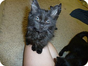 Domestic Mediumhair Kitten for adoption in Fairborn, Ohio - Silkie-Springfield Litter