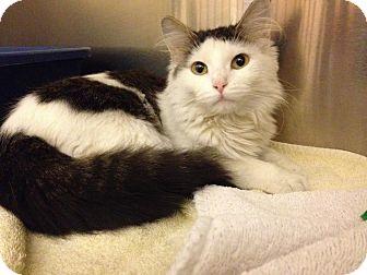 Domestic Longhair Kitten for adoption in Chicago, Illinois - Maui