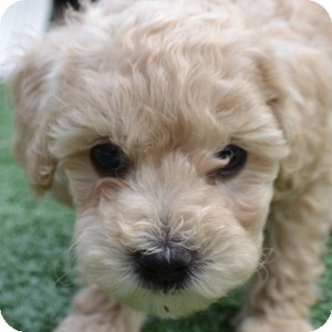 Bichon Frise Mix Puppy for adoption in La Costa, California - Grayson