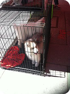 Husky/Samoyed Mix Puppy for adoption in North Hollywood, California - Shadow