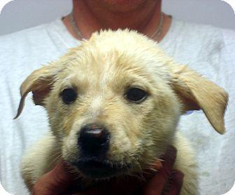 Labrador Retriever Mix Puppy for adoption in baltimore, Maryland - Vanessa
