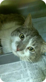 Domestic Shorthair Cat for adoption in Chesterfield Township, Michigan - Leo