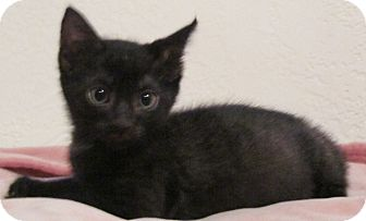 Domestic Shorthair Kitten for adoption in Seminole, Florida - Sinatra