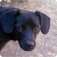 Adopt A Pet :: Hannah - dewey, AZ