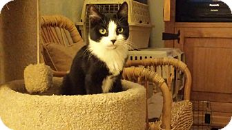 Domestic Shorthair Cat for adoption in Mesa, Arizona - Jonah