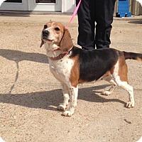 Beagle Dog for adoption in Baton Rouge, Louisiana - Ferrah