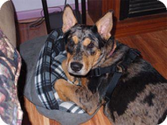 Australian Cattle Dog Mix Dog for adoption in Wilmington, Massachusetts - Nooka
