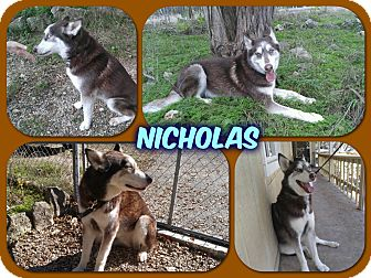 Siberian Husky Dog for adoption in Bedford, New York - Nicholas