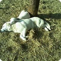 Adopt A Pet :: Lucy LGD - Kyle, TX