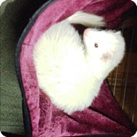 Ferret for adoption in Warwick, Rhode Island - Sol