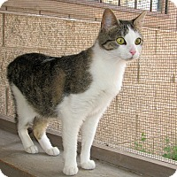 Domestic Shorthair Cat for adoption in Ruidoso, New Mexico - Phebe