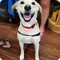 Labrador Retriever Mix Dog for adoption in Dallas, Texas - Ava III