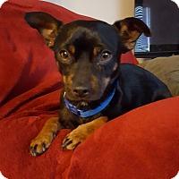 Adopt A Pet :: Bear - Boise, ID
