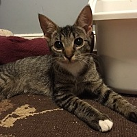 Domestic Shorthair Kitten for adoption in Madison, New Jersey - Gloria