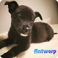 Adopt A Pet :: Antwerp - Newport, KY