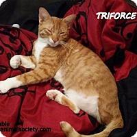Adopt A Pet :: Bigbee Kitty/Triforce - Spring, TX