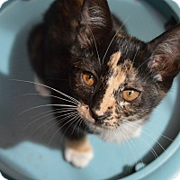 Calico Kitten for adoption in Richmond, Virginia - Mollie