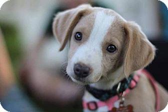 Beagle Mix Puppy for adoption in Centreville, Virginia - Annie