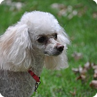 Poodle (Toy or Tea Cup) Dog for adoption in Elk River, Minnesota - MOLLY