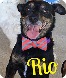 Chihuahua Mix Dog for adoption in Cantonment, Florida - Rio