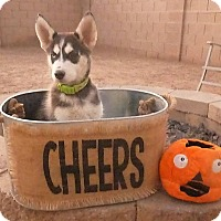 Adopt A Pet :: Kodiak - Phoenix, AZ