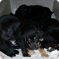 Adopt A Pet :: 8Epups - Palmdale, CA