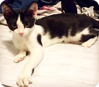 Domestic Shorthair Cat for adoption in Walled Lake, Michigan - Geezer