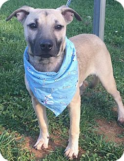 Shepherd (Unknown Type) Mix Puppy for adoption in Lexington, North Carolina - MELVIN
