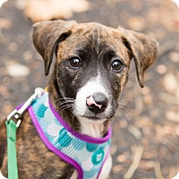 Adopt A Pet :: Angie - New York, NY