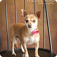 Chihuahua Mix Dog for adoption in McKinney, Texas - Camille