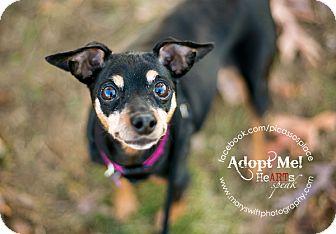 Miniature Pinscher/Miniature Pinscher Mix Dog for adoption in Myersville, Maryland - Katie