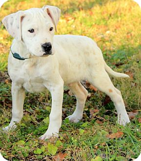 Boxer/American Bulldog Mix Puppy for adoption in Allentown, Pennsylvania - Darcy