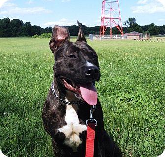 American Pit Bull Terrier/American Pit Bull Terrier Mix Dog for adoption in Phoenix, Arizona - Lyla-Courtesy Post