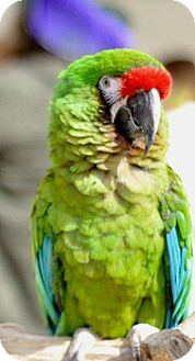 Macaw for adoption in Shawnee Mission, Kansas - Tilly