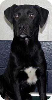 Labrador Retriever/Hound (Unknown Type) Mix Puppy for adoption in Sterling, Massachusetts - Buddy