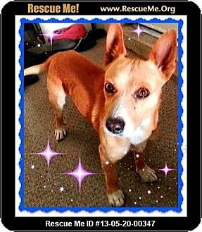 Basenji Mix Dog for adoption in Scottsdale, Arizona - Gino (Courtesy)