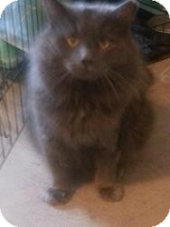 Domestic Longhair Cat for adoption in Acushnet, Massachusetts - Fairmont