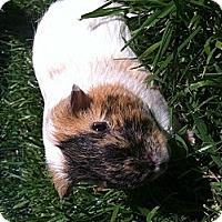 Adopt A Pet :: Peter B - Fullerton, CA