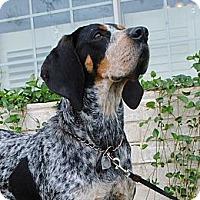 Adopt A Pet :: Savannah - Dallas, TX
