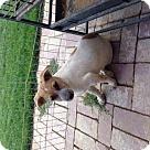 Adopt A Pet :: Ziggy