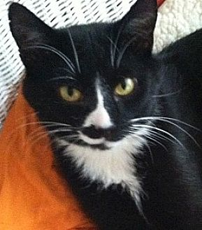 Domestic Shorthair Cat for adoption in Toledo, Ohio - Rudy