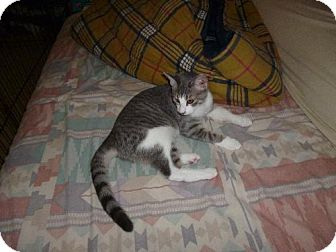 Domestic Shorthair Cat for adoption in Cypress, Texas - Tigris