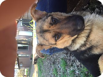 keller tx   german shepherd dog mix meet minnie a dog